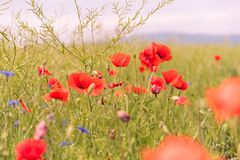 Poppy flowers wallpaper Royalty Free Stock Photography