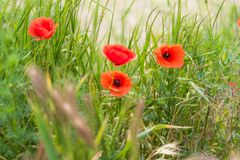 Poppy flowers wallpaper Royalty Free Stock Photos