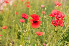 Poppy flowers wallpaper Stock Photo