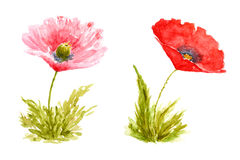 Poppy Flowers Watercolor Hand Drawn and Painted. Isolated on White Background Stock Images