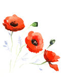 The poppy flowers watercolor isolated Royalty Free Stock Photography