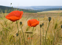 Poppy flowers and wheat field stock photo