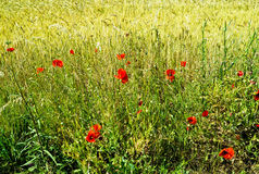 Poppy flowers in the wheat field Royalty Free Stock Images
