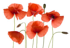 Poppy flowers on white Stock Photography