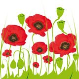 Poppy flowers. Stock Photography