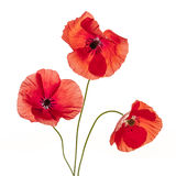 Poppy flowers on white Stock Photos