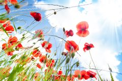 Poppy flowers wide angle Royalty Free Stock Image