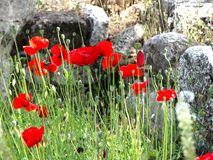 Poppy flowers in the wild under beautiful sun rays during Summer time. royalty free stock photography