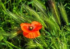 Poppy flowwer in the wheat field Royalty Free Stock Photo