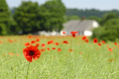 Poppy and framland Stock Images