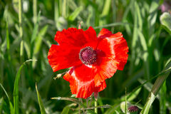 Poppy in front of green grass stems Stock Photography