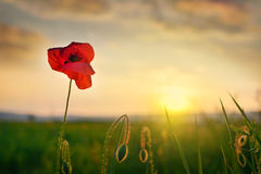Poppy Garden. A poppy in a field at sunset Stock Photography