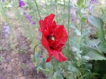 Poppy in the garden Stock Photos