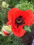 Poppy in a Gloucester country estate. Gloucester garden 20& x29 Stock Images