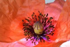 Poppy Glowing Anthers roja 03 fotografía de archivo libre de regalías