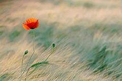 Poppy in the golden light of the sun stock images
