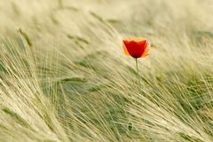 Poppy in the golden light of the sun Royalty Free Stock Photography