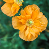 Poppy Golden Orange Double 2 arkivfoto