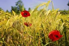 Poppy among grain. beautiful landscape Stock Photo