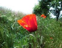 Poppy. In the grass stock photos