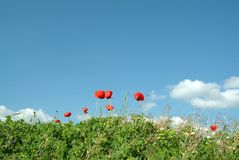 Poppy and grass in field stock photos