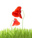 Poppy with grass isolated Royalty Free Stock Image