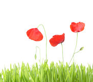 Poppy with grass isolated Stock Image