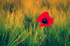 Poppy in grass. Red flower on green grassland Royalty Free Stock Photography