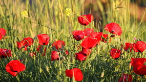 Poppy in grass Royalty Free Stock Photo