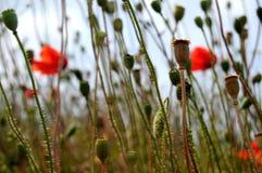 Poppy grassy background Stock Image