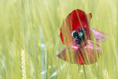 Poppy on green background Stock Photography
