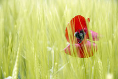 Poppy on green background Royalty Free Stock Images