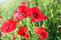 Poppy on green field Stock Photo