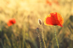 Poppy in a green field. On sunset Royalty Free Stock Images