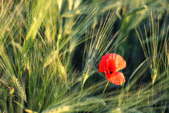 Poppy in a green field. On sunset Stock Photography