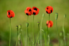 Poppy on green meadow Stock Photography