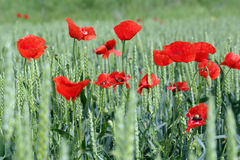 Poppy and green wheat Royalty Free Stock Photography