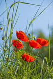 Poppy, group of flowers Stock Photo
