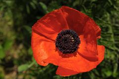 Red, bright, blossoming, decorative poppy Papáver. royalty free stock photo
