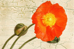 Poppy on grunge background stock photos