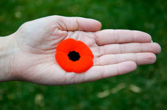 Poppy In Hand. A poppy rests in the palm of a hand Stock Images