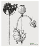 Poppy hand drawing engraving style. Clip art isolated on white background Stock Images