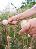 Poppy harvesting Royalty Free Stock Image