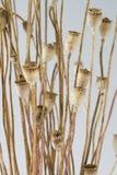 Poppy - head Stock Photo