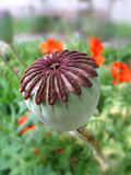 Poppy head. Photo of the poppy head in the grandmother′s garden Royalty Free Stock Images