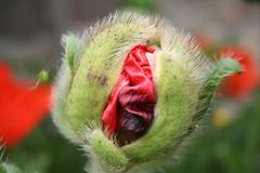 Poppy head. The poppys leaves are busting out to become a flower Royalty Free Stock Image
