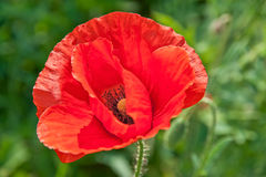 Red Poppy head. Beautiful poppy growing on a polish earth Stock Image
