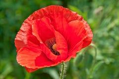 Red Poppy head Stock Image