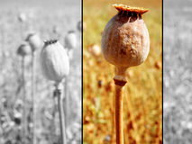 Poppy head. Coloured poppy head on the field Royalty Free Stock Photos