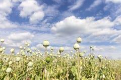 Poppy Head Field Fotografie Stock